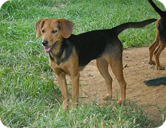 Manchester Terrier Mix Dog for adoption in Centerville, Tennessee - Tori