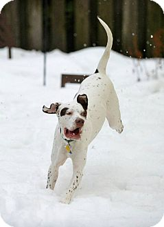 English Pointer/German Shorthaired Pointer Mix Dog for adoption in Wood Dale, Illinois - Scout- ADOPTION PENDING!