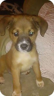 Terrier (Unknown Type, Medium)/Beagle Mix Puppy for adoption in Charlestown, Rhode Island - Ruffiki