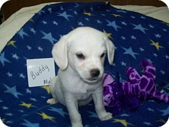Chihuahua/Terrier (Unknown Type, Small) Mix Puppy for adoption in Paris, Illinois - Buddy
