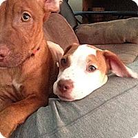 Adopt A Pet :: Patches - Marlton, NJ