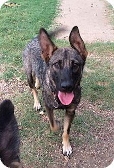 German Shepherd Dog Puppy for adoption in Fort Worth, Texas - Faith