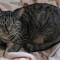 Domestic Shorthair Cat for adoption in Monroe, Connecticut - Frenchy