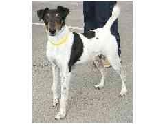 Fox Terrier (Smooth) Dog for adoption in Provo, Utah - TAZU