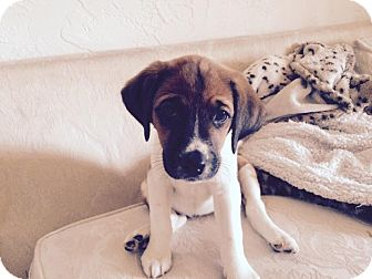 Labrador Retriever Mix Puppy for adoption in waterbury, Connecticut - Gail