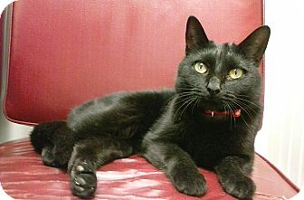 Domestic Shorthair Cat for adoption in Covington, Kentucky - Shadeux