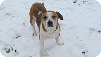 Jack Russell Terrier/Beagle Mix Dog for adoption in Staunton, Virginia - Rambo