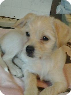 Shih Tzu/Terrier (Unknown Type, Small) Mix Puppy for adoption in Zanesville, Ohio - Ginger