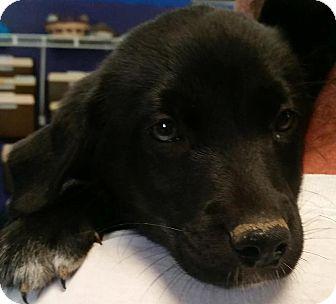 Catahoula Leopard Dog/Sheltie, Shetland Sheepdog Mix Puppy for adoption in Adrian, Michigan - Daphne
