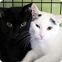Adopt A Pet :: Mungor - Chicago, IL