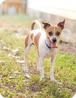 Jack Russell Terrier/Italian Greyhound Mix Dog for adoption in Von Ormy, Texas - GOAT