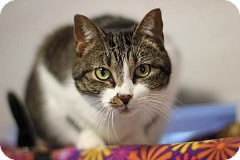 Domestic Shorthair Cat for adoption in Midland, Michigan - Bell - NO FEE