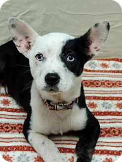 Chihuahua Mix Puppy for adoption in Brookings, South Dakota - Scarlett