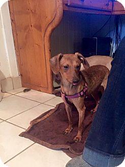 Dachshund/Miniature Pinscher Mix Puppy for adoption in Marcellus, Michigan - Twiggy