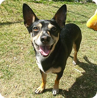 Jack Russell Terrier Mix Dog for adoption in El Cajon, California - Buddy