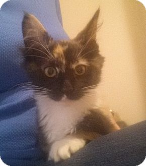 Domestic Mediumhair Kitten for adoption in Cherry Hill, New Jersey - Hallie
