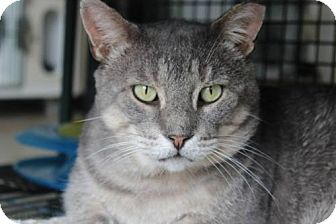 Domestic Shorthair Cat for adoption in Hamilton, Ontario - Gunther