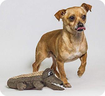Chihuahua Mix Dog for adoption in Yelm, Washington - Humpfrey