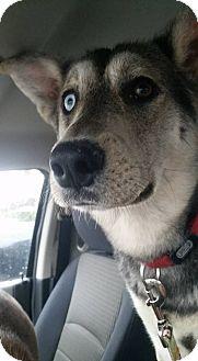Husky/German Shepherd Dog Mix Puppy for adoption in Ottawa, Ontario - Bing