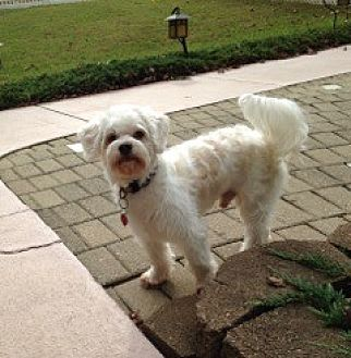 Maltese Dog for adoption in Chattanooga, Tennessee - Bobo (FL)