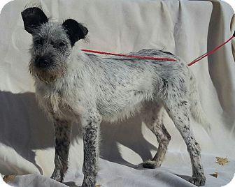 Schnauzer (Standard)/Australian Cattle Dog Mix Dog for adoption in Minneapolis, Minnesota - Corly