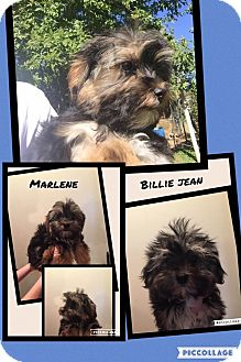 Yorkie, Yorkshire Terrier Puppy for adoption in Scottsdale, Arizona - Marlene