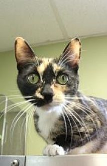 Domestic Shorthair Cat for adoption in New York, New York - Linda (Westhampton)