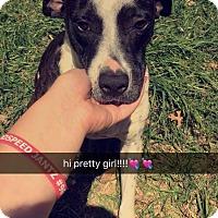 Adopt A Pet :: Brandy - Austin, TX