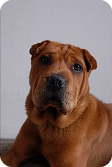 Shar Pei/Boxer Mix Dog for adoption in Los Angeles, California - Dylan