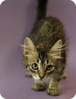 Maine Coon Kitten for adoption in Plano, Texas - MOLLY-PERSONALITY PLUS