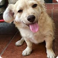 Adopt A Pet :: Emilio - Santa Ana, CA