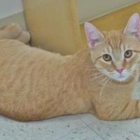 Domestic Shorthair/Domestic Shorthair Mix Cat for adoption in Chambersburg, Pennsylvania - Maynard