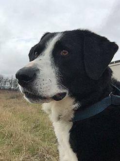 Collie/Labrador Retriever Mix Dog for adoption in Natchitoches, Louisiana - Paisley