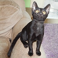 Adopt A Pet :: KIOWA - BLACK CUTIE! - Plano, TX