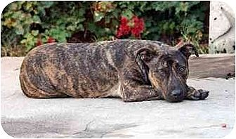 Boxer/American Pit Bull Terrier Mix Dog for adoption in West Los Angeles, California - Sweeney