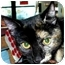 Photo 1 - Domestic Shorthair Cat for adoption in San Clemente, California - KAYLA