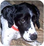 English Springer Spaniel Dog for adoption in Minneapolis, Minnesota - Tulip (MN)