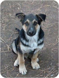German Shepherd Dog Mix Puppy for adoption in Merritt, British Columbia - Puppy #2