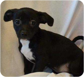 Chihuahua Mix Puppy for adoption in Westminster, Colorado - IBANEZ