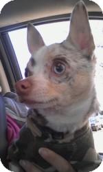 Chihuahua Dog for adoption in Marlton, New Jersey - Dakota rare blue merle