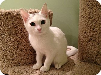 Domestic Shorthair Kitten for adoption in East Hanover, New Jersey - Ajax and Auggy