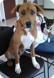 Labrador Retriever/Boxer Mix Puppy for adoption in Seattle, Washington - Benjamin