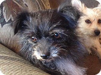 Terrier (Unknown Type, Small) Mix Dog for adoption in Littleton, Colorado - SPIKE2 (FKA EBONY)