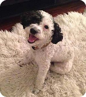 Poodle (Miniature)/Terrier (Unknown Type, Small) Mix Dog for adoption in Mission Viejo, California - JACKSON