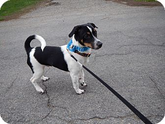 Jack Russell Terrier Mix Puppy for adoption in Richmond, Virginia - Jack