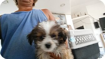 Terrier (Unknown Type, Small) Mix Puppy for adoption in Landers, California - COLBY