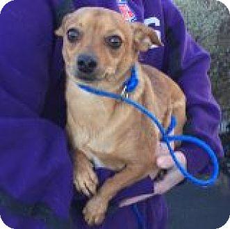 Chihuahua Mix Dog for adoption in Las Vegas, Nevada - Peanut