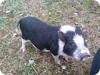 Pig (Potbellied) for adoption in Georgetown, Kentucky - Mickey