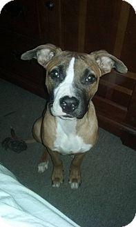 Boxer Mix Dog for adoption in West Allis, Wisconsin - Bandit - Adoption Pending
