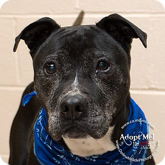 Pit Bull Terrier Dog for adoption in Troy, Ohio - Astro